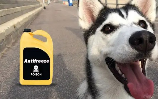 Antifreeze and dogs