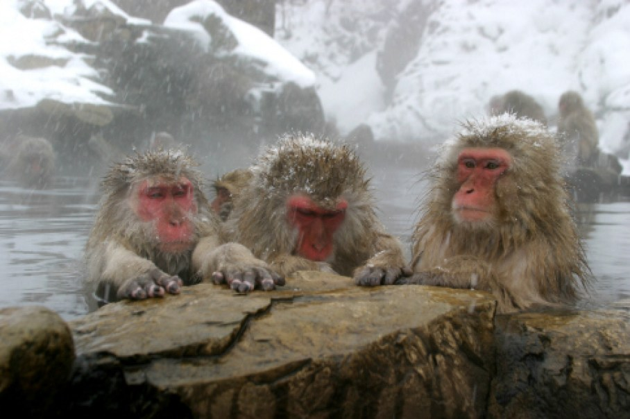 Japanese Monkeys covered in Snow, sitting in Hot Spring