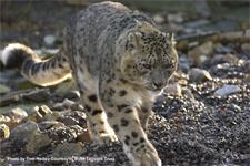 snowleopardwalking