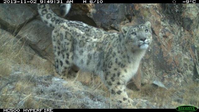 A wild snow leopard caught on camera in Kyrgyzstan in November 2013