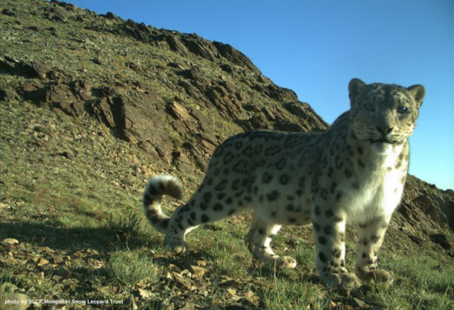 The first wild snow leopard she ever saw has left an indelible mark on Nadia's mind.