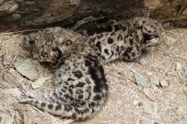 The first wild snow leopard cubs ever discovered in their den. Photo: Snow Leopard Trust