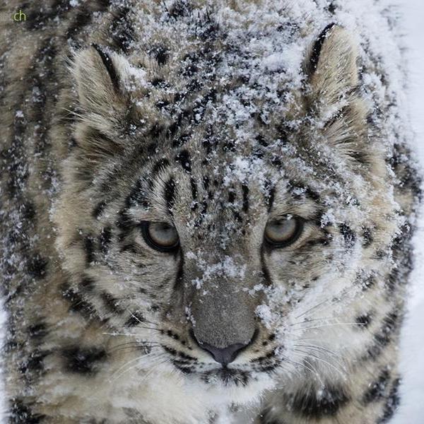 Snow Leopard Close Up Daniel Muenger