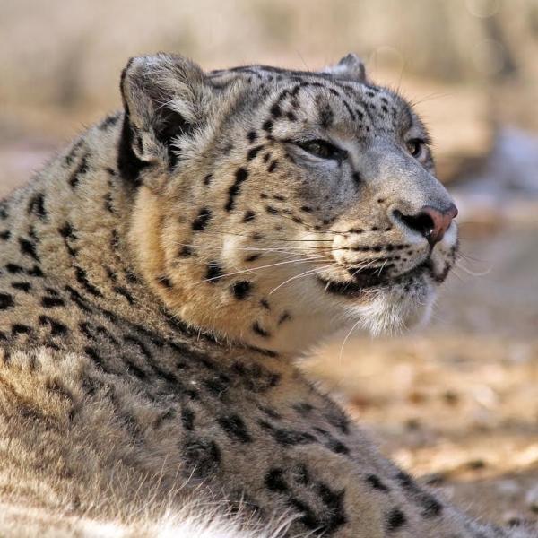 Snow Leopard, John Stahl