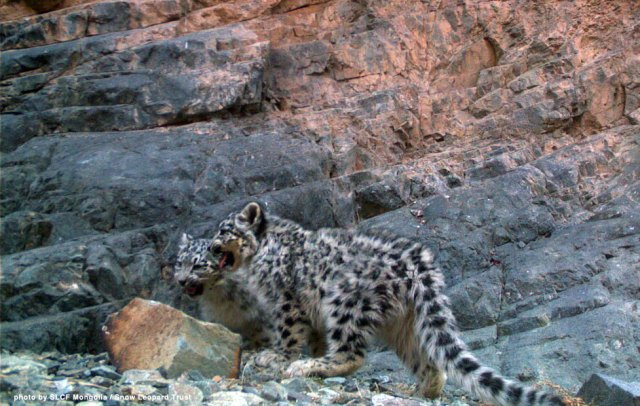 Our research cameras in Tost snap pictures of new snow leopard cubs every year in Tost