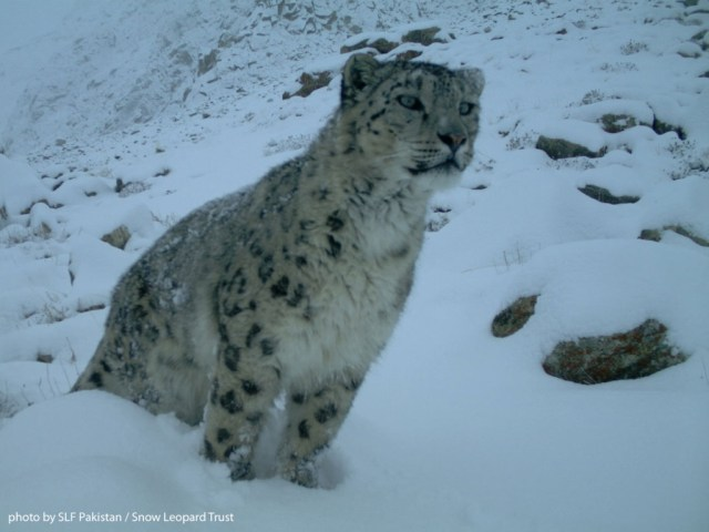 Recent data from Pakistan suggests that there may well be fewer snow leopards in the country than previously estimated.