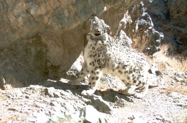 GPS collars allow researchers to calculate home range sizes of snow leopards. Photo: SLCF / SLT