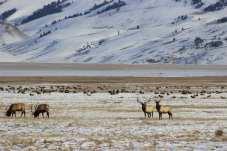 jackson elk