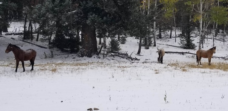 snowshoeing in New Mexico: horses on a snowy trail with trees