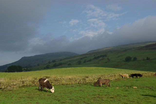 cows in pasture, Campsie Fells, Scotland