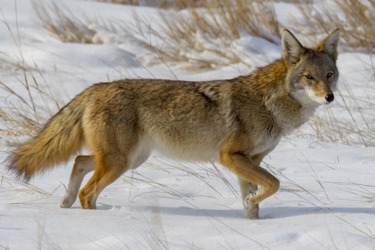 snowshoeing near Denver, CO: coyote in snow in Cherry Creek State Park