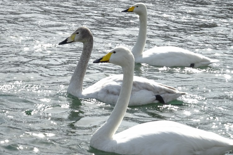 close up of swans on the water