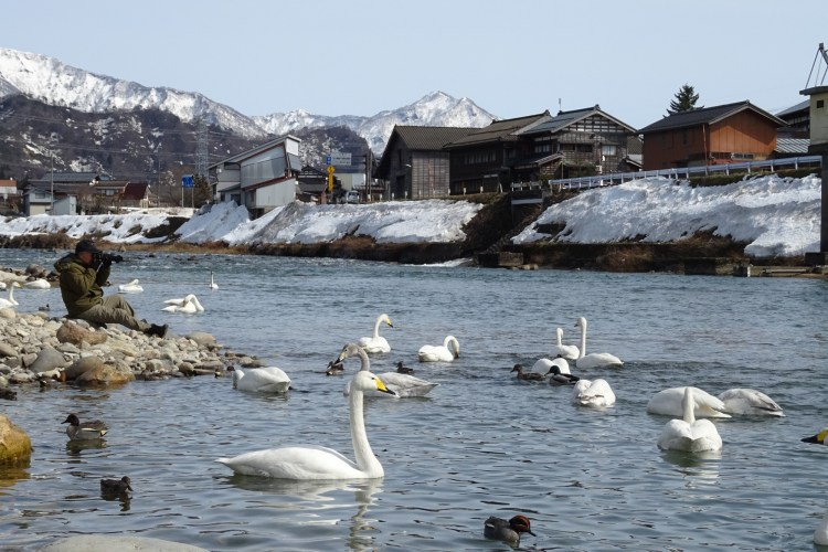 swans on lake with snow covered buildings and mountains in background near Sanjo, Niigata