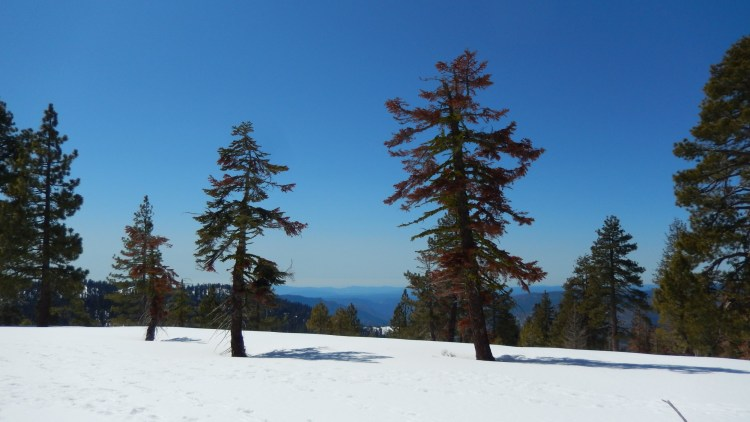 trees in the snow with clear blue sky on the Ridge Trail, CA