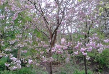 pink blooming trees in Glasgow Botanic Gardens in spring