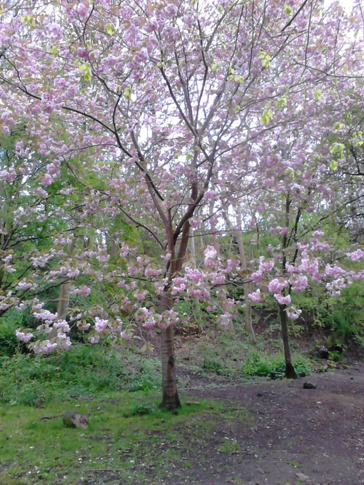 Glasgow Botanic Gardens, pink blossoming trees