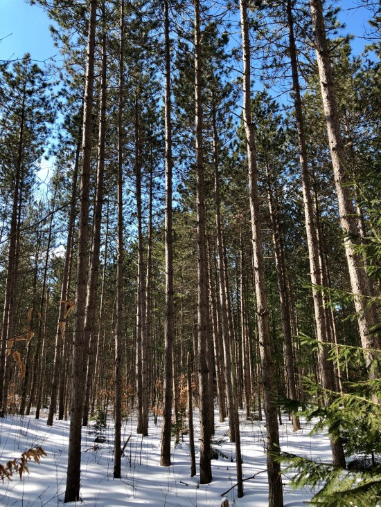 snowshoeing Toronto: blue sky with trees and snow in Ganaraska Forest