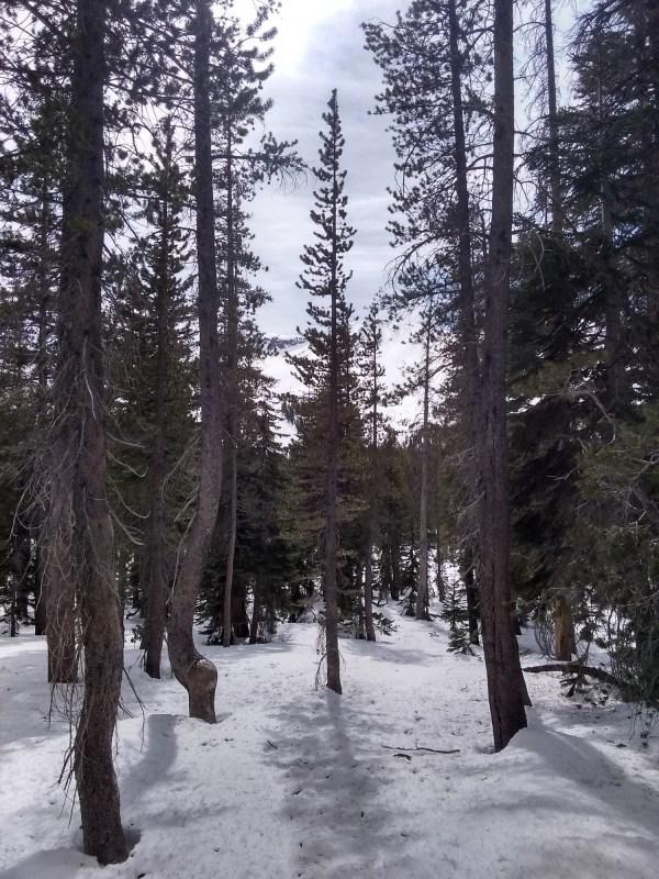 forest near Mammoth Mountain