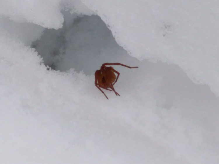 spider surrounded by snow