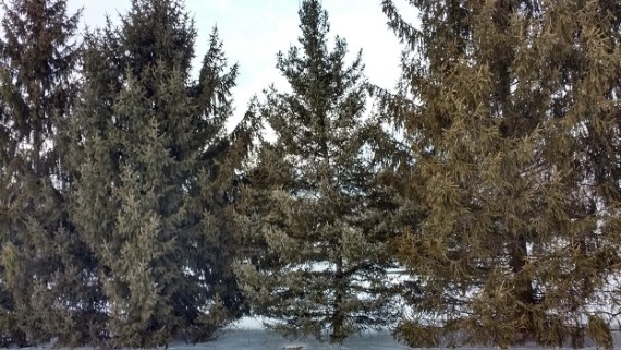 group of spruce trees in the snow