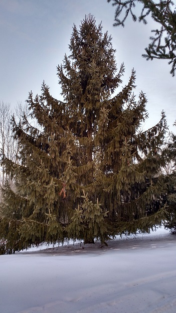 large evergreen tree in snow