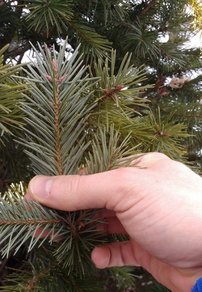 close up photo of hand holding fir needles