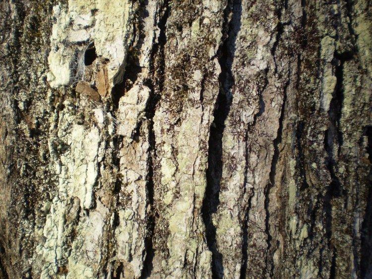 close up of maple tree bark