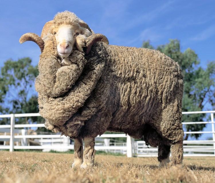 merino sheep in field