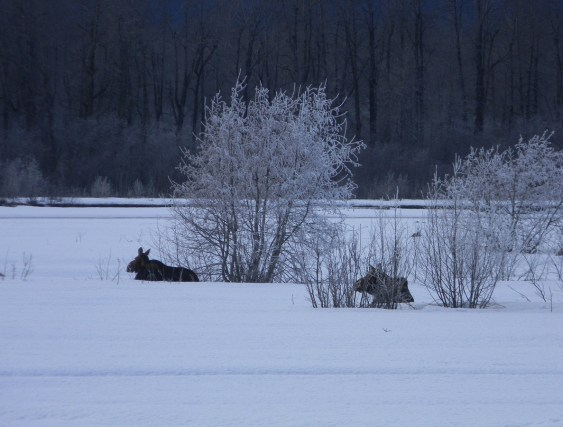 Moose on the river flat