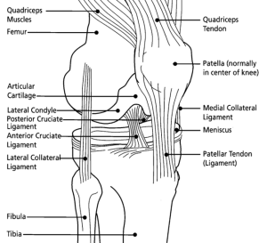 diagram of the knee