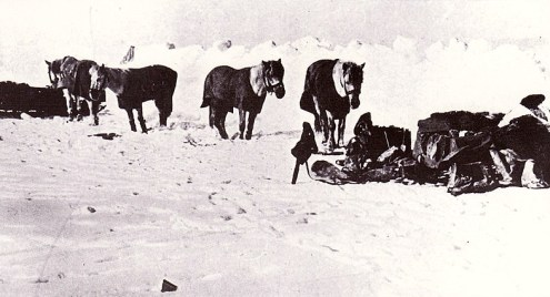 800px-Siberian_ponies_-_Terra_Nova_Expedition