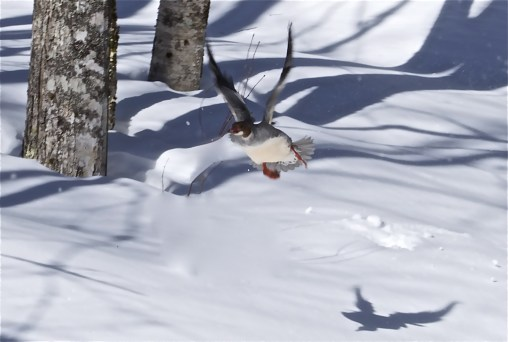 A startled mallard takes wing