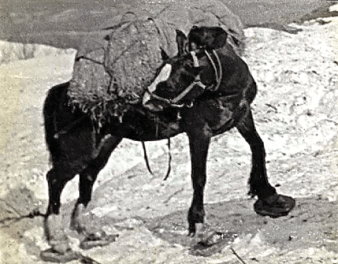 Mule on Snowshoes
