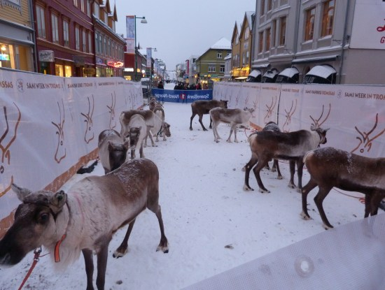 Reindeer racing on the main street: Tromso Winter Activities