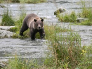 Young brown bear fishing near Haines.