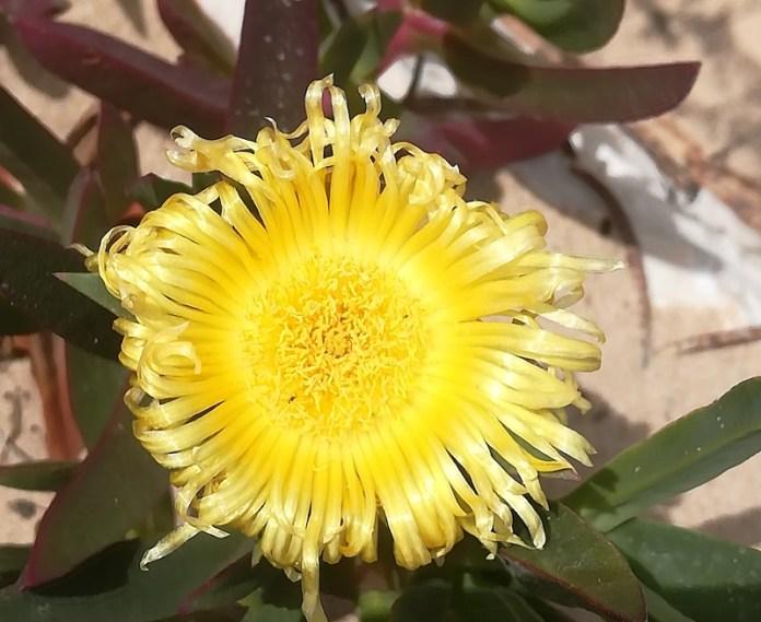 I colori della sabbia-preservare la biodiversità -Carpobrotus Edulis il fiore delle dune- Spiaggia Calatubo -Alcamo (TP)