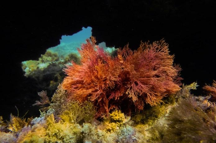 L' eleganza dell'alga Sphaerococcus coronopifolius