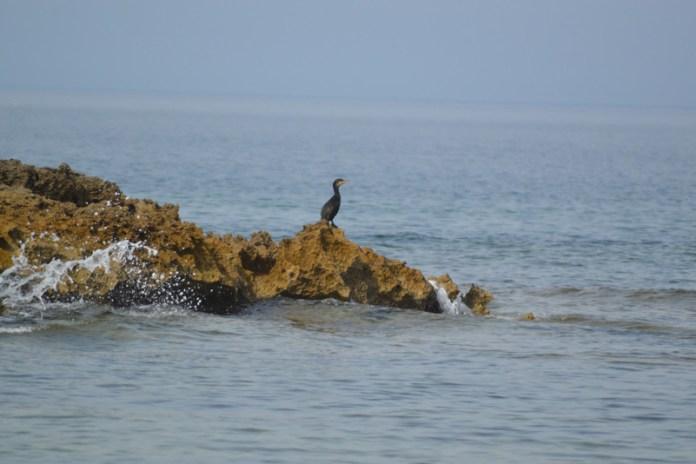(cormorano in solitudine )