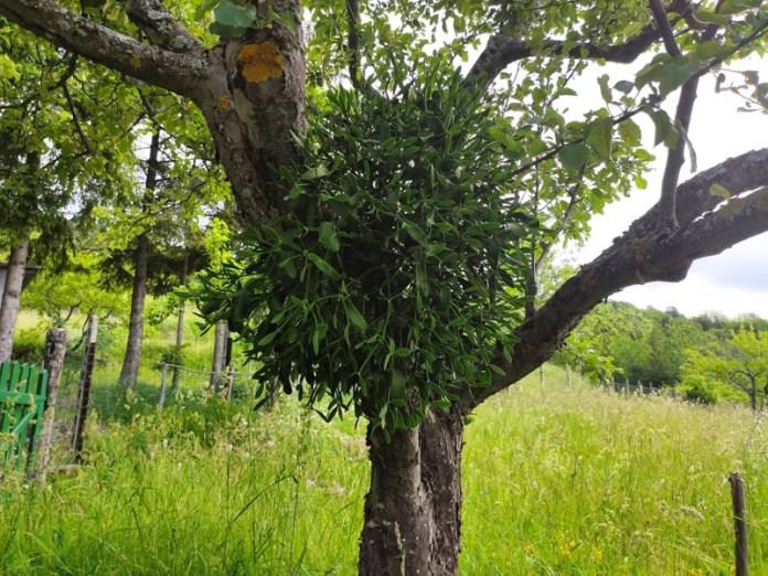 il vischio: la pianta sacra dei Celti