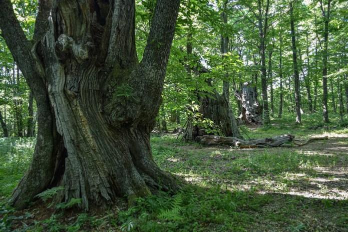 bosco di paranceto alberi monumentali