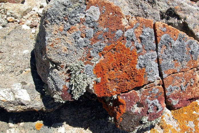 Licheni su granito di Montecristo