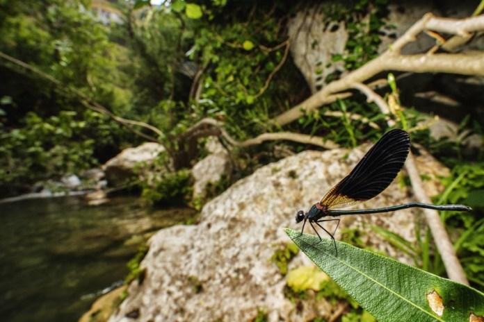 Maschio di damigella nella valle dell'Anapo