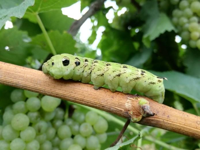 Larva di Sfinge della Vite