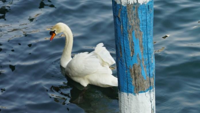 un cigno al lago