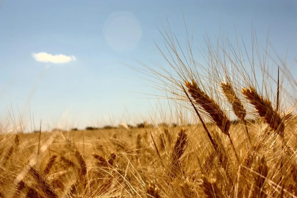 A field of wheat