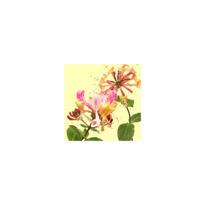 Honeysuckle Fragrance Oil ( Size A - 1/4 ounce)