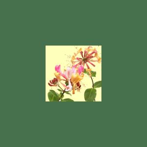 Honeysuckle Fragrance Oil ( Size A - 1/4 ounce)