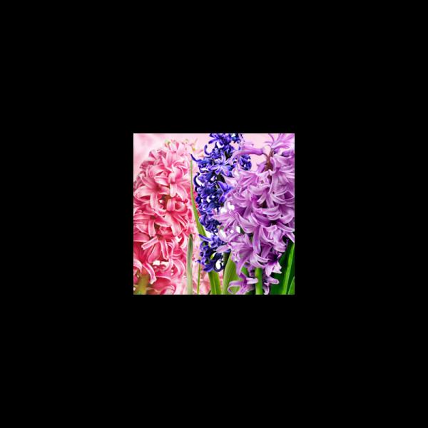 Hyacinth Fragrance Oil ( Size A - 1/4 ounce)
