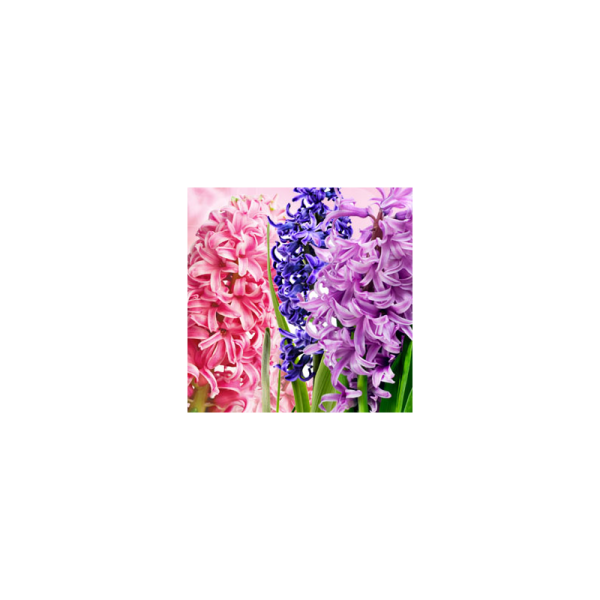 Hyacinth Fragrance Oil ( Size A - 1/4 ounce)