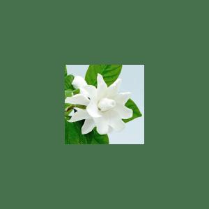 Southern Gardenia Fragrance Oil ( Size A - 1/4 ounce)